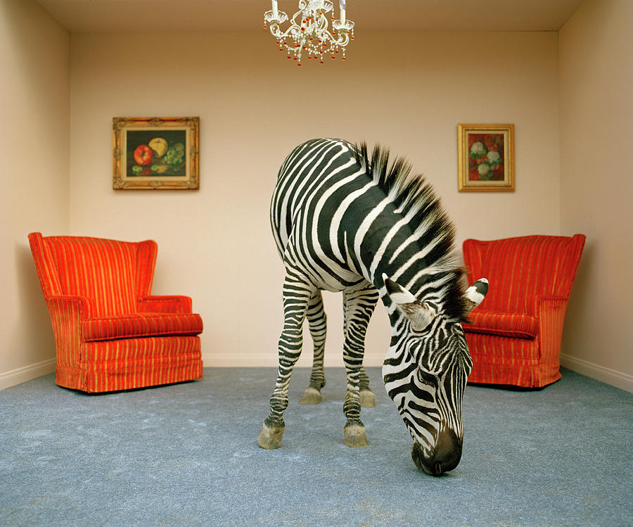 Zebra In Living Room Smelling Rug Photograph by Matthias Clamer