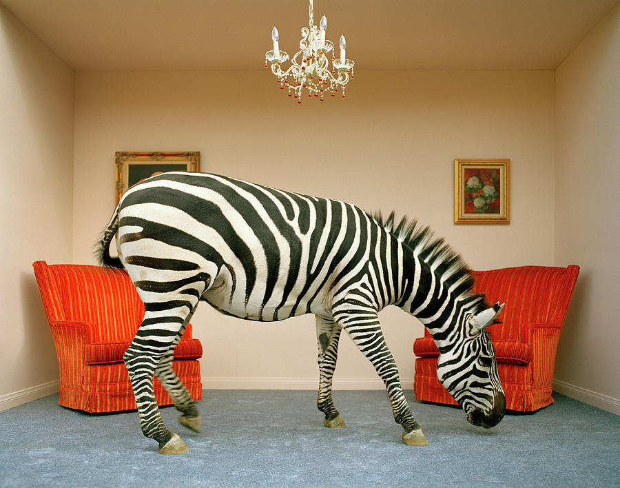 Zebra In Living Room Smelling Rug, Side Photograph by Matthias Clamer