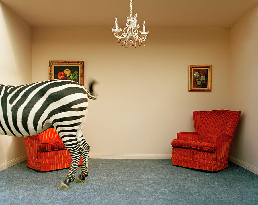 Out Of Context Photograph - Zebra In Living Room Swishing Tail by Matthias Clamer