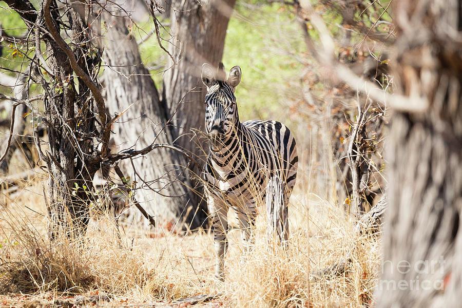Zebra In Woods 1 by Timothy Hacker