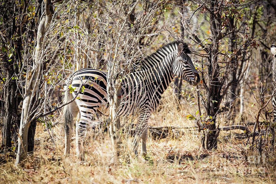 Zebra In Woods by Timothy Hacker