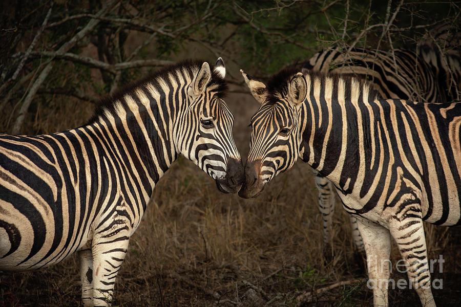 Zebra Kiss Photograph