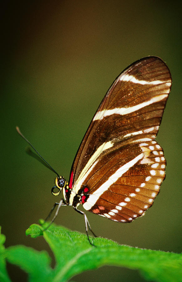 Zebra Longwing Butterfly At Rest Photograph by Richard Cummins