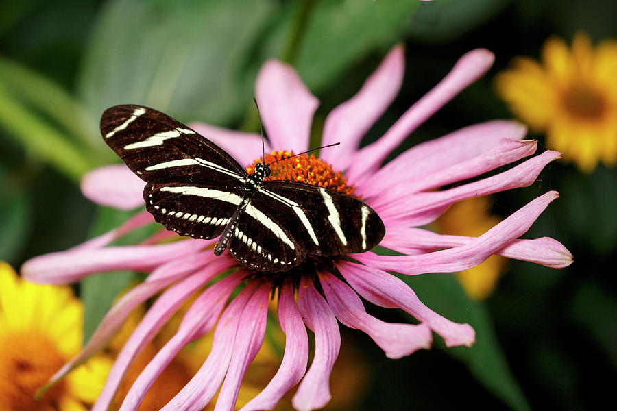 Zebra Longwing Butterfly Photograph