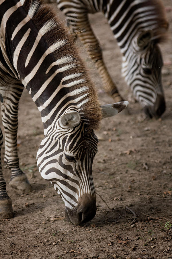 Zebra Mother And Baby Photograph by Holly Hildreth