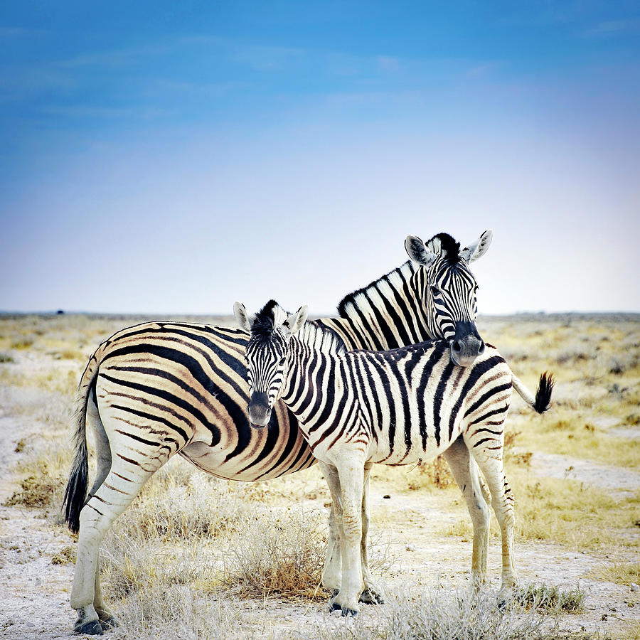 Zebra Mother And Her Foal In Etosha Photograph by Brytta