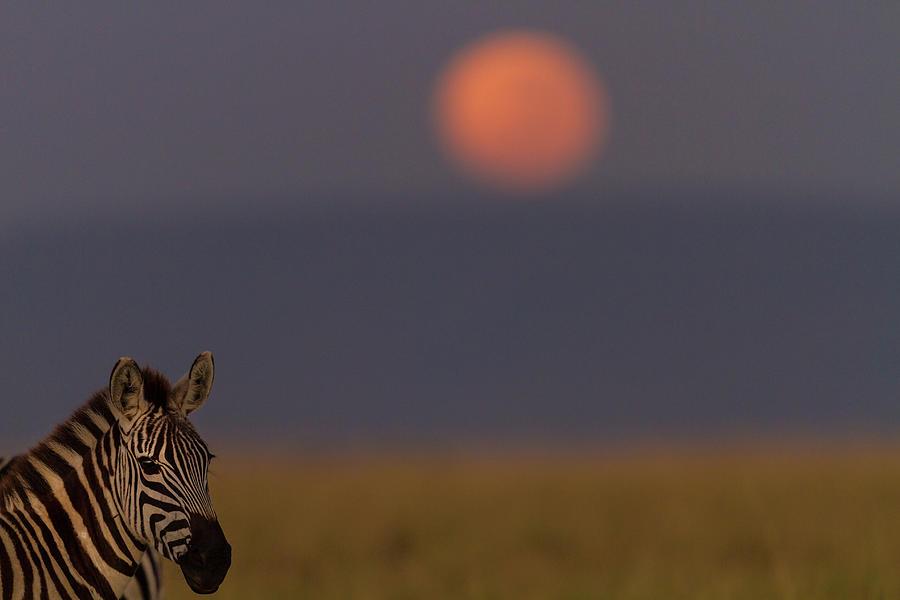 Zebra On Mara Plains In Moonlight Photograph by Manoj Shah