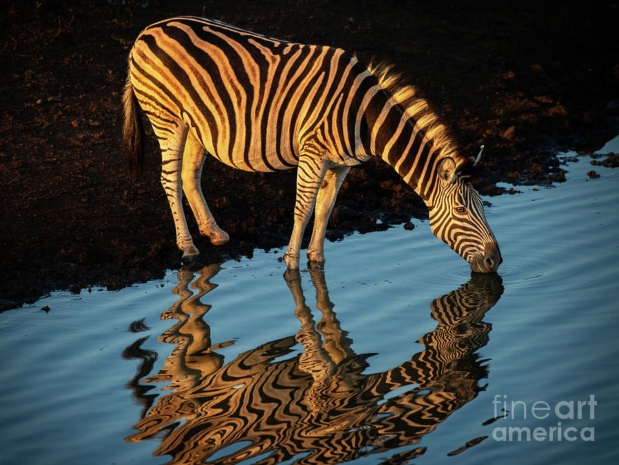 Zebra Reflection Photograph