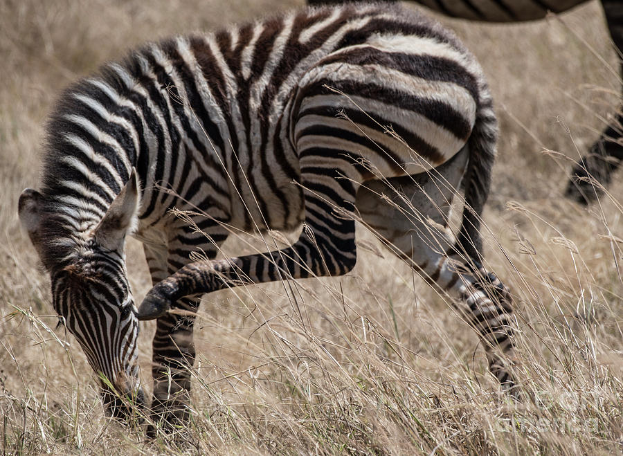 Zebra Scratches Itself by Steve Somerville