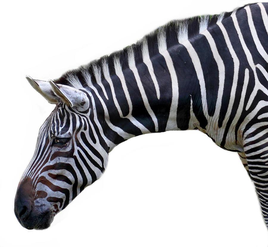 Zebra Photograph by Seng Chye Teo