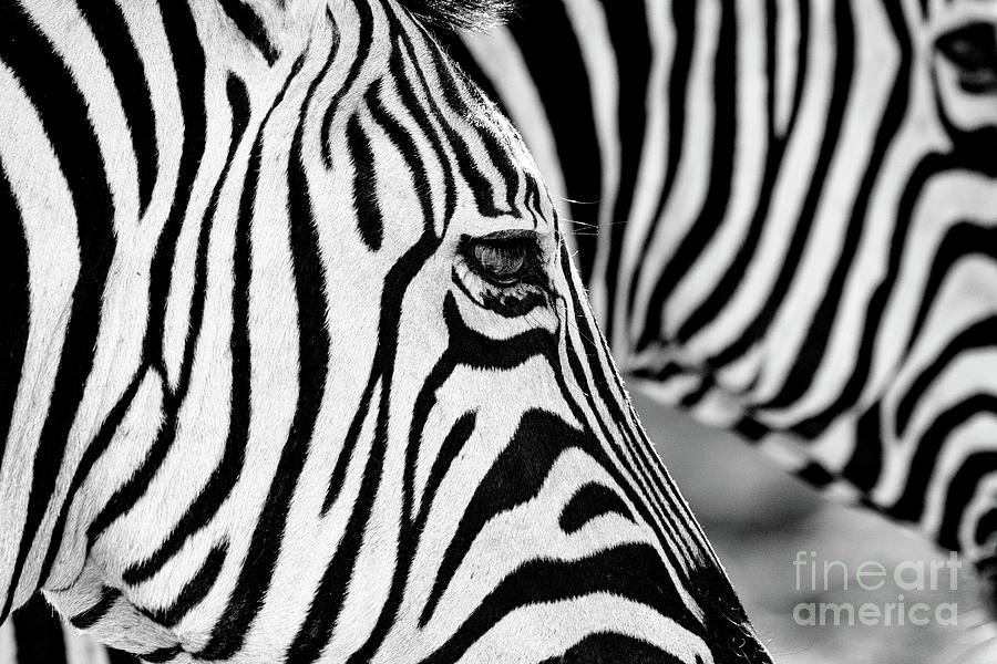 Zebra Stripes Photograph by Chris Kolaczan