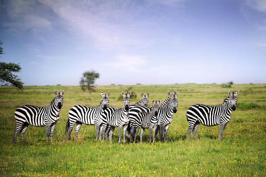 Zebra Stripes Photograph by David Lazar