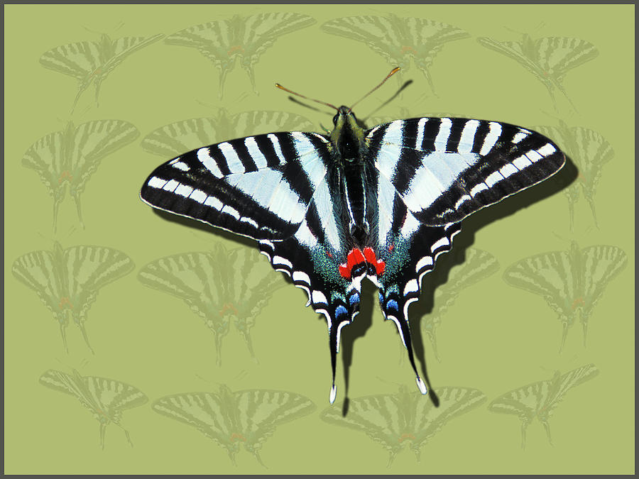 Zebra Swallowtail by Jeff Phillippi