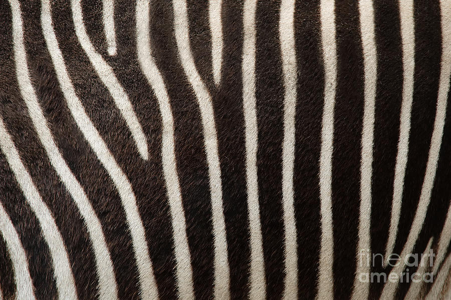Zebra Photograph - Zebra by Uzuri