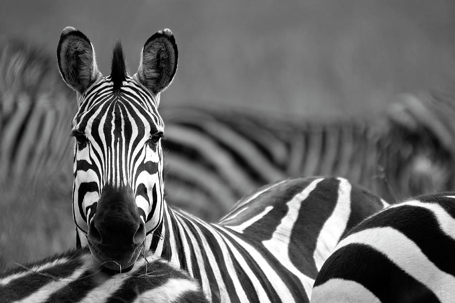 Plains Zebra Photograph - Zebra by Wldavies