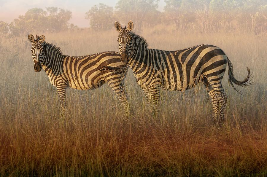 Zebras at Sunset by Peggy Blackwell