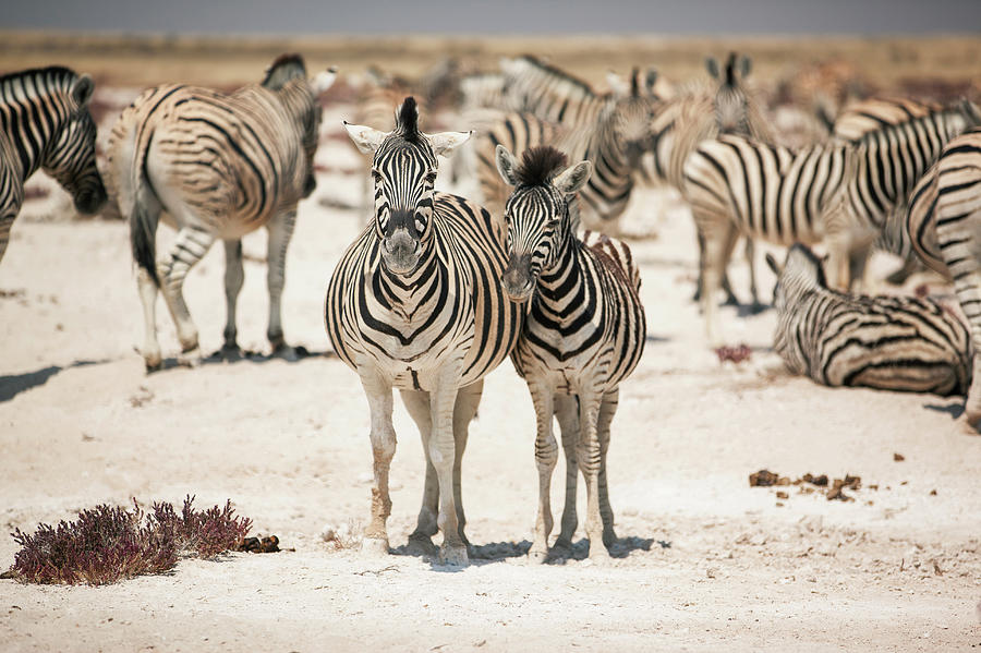 Zebras At Water Hole Photograph by Bjarte Rettedal