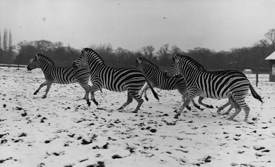 Zebras In The Snow Photograph by Fox Photos