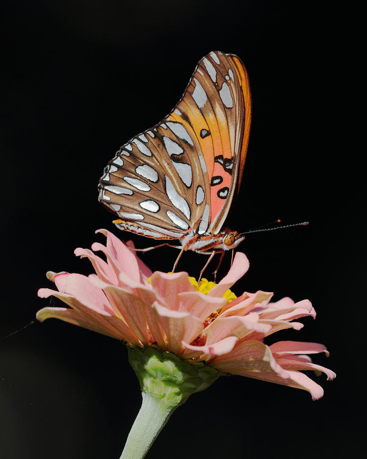 Zinnia with Butterfly 3044 by John Moyer