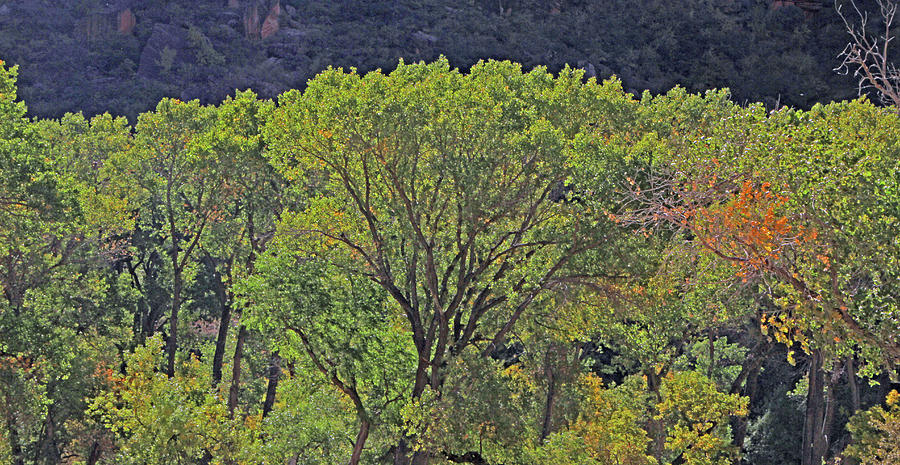 Zion Back Lit Trees Greens Autumn Color Change 6382 Photograph by David Frederick