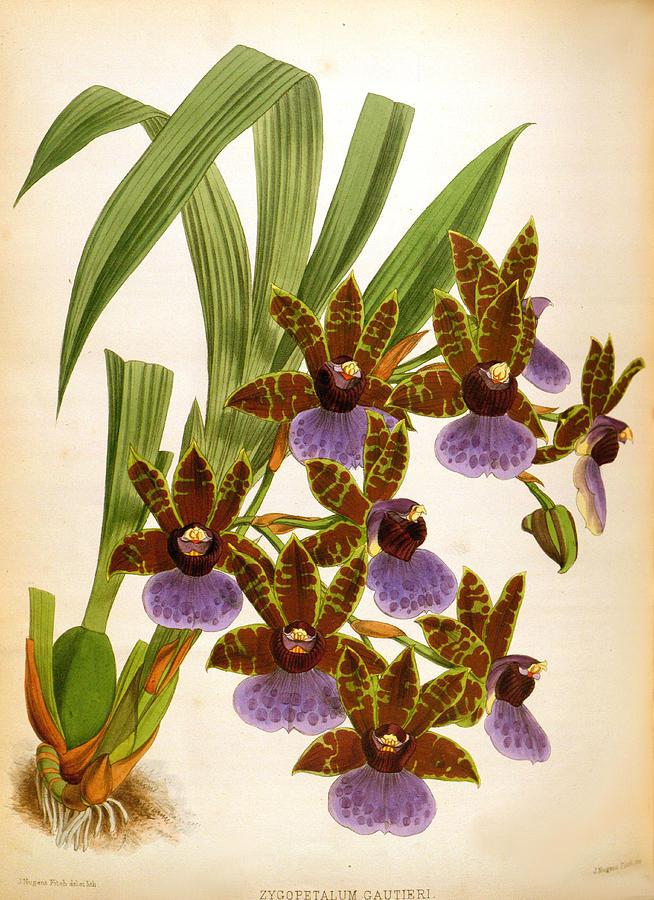 Zygopetalum Gautieri Vintage Lindenia Orchid  by Jean Jules Linden
