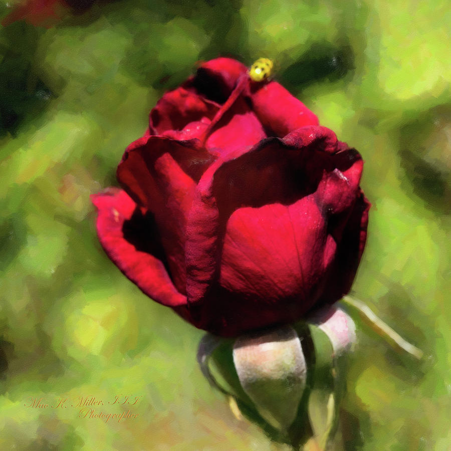Red Rose Photograph - 08. 2029-2 First Prize Rose in Digital Painting by M K Miller