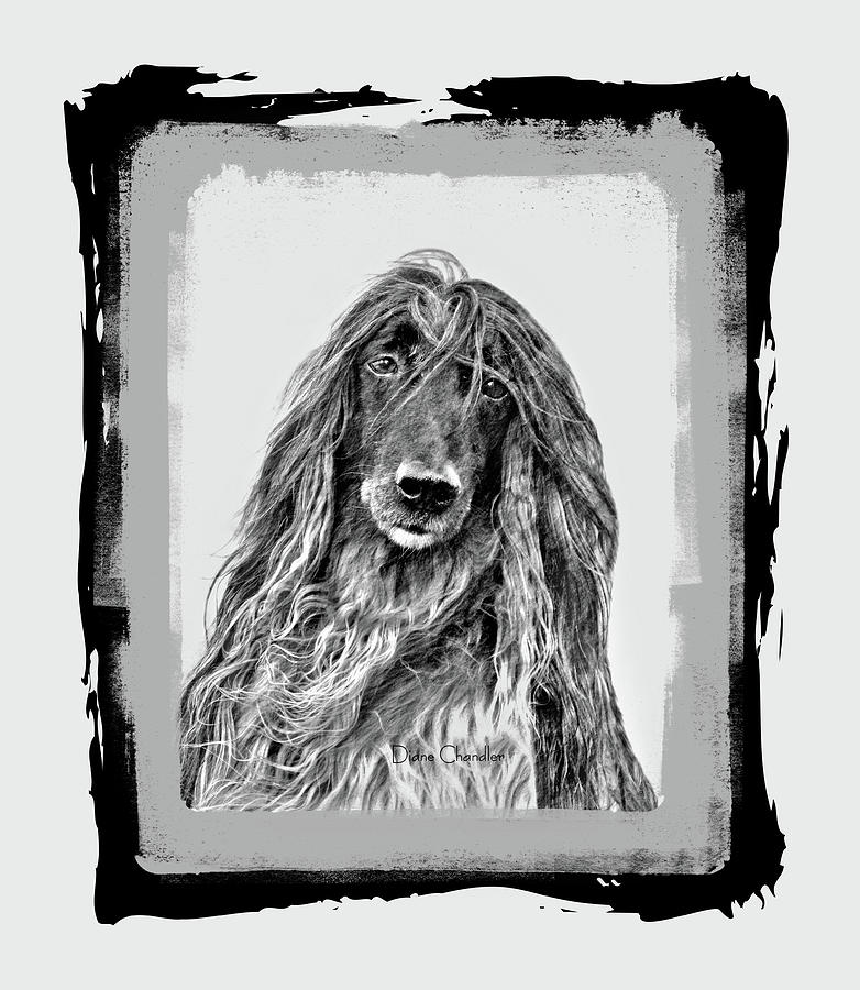 Afghan Hound  by Diane Chandler