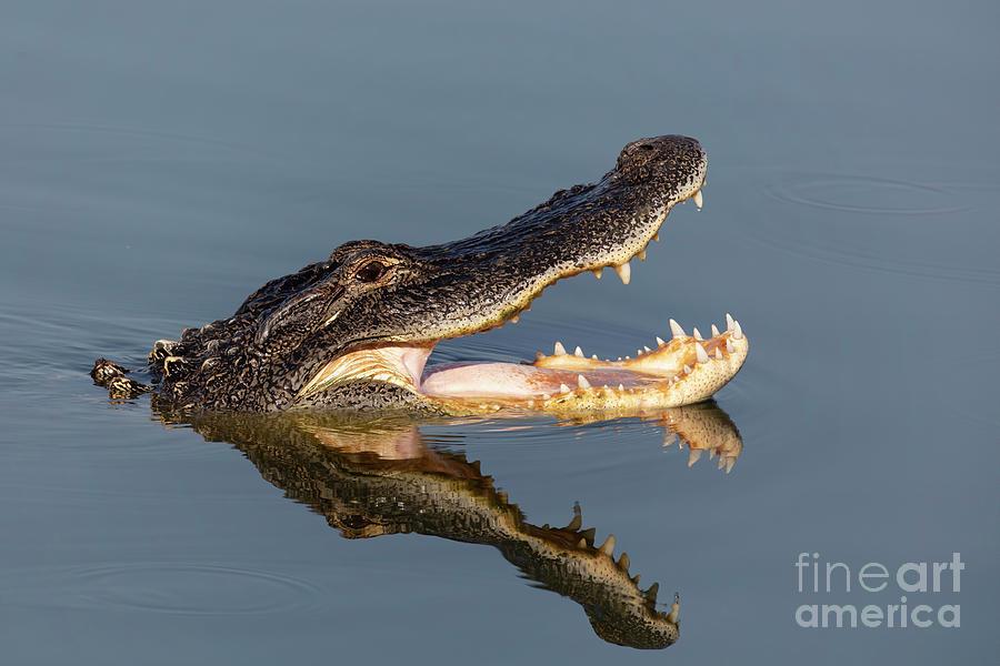Alligator Reflection Photograph