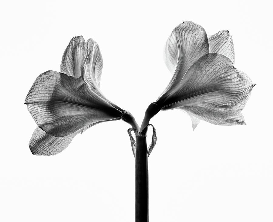 Amaryllis Photograph - Amaryllis by Nailia Schwarz