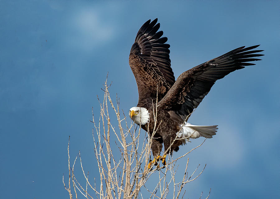 American Bald Eagle by Rick Mosher