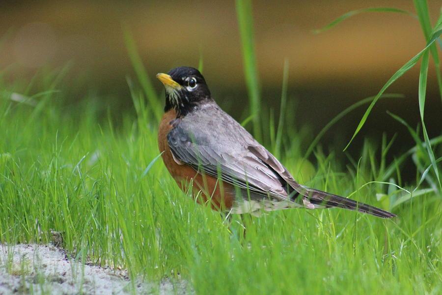 Robin Photograph - American Robin by Callen Harty