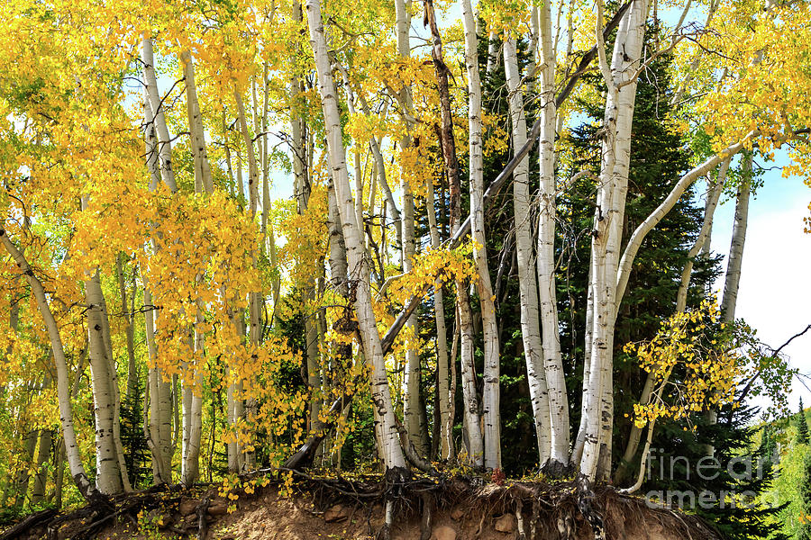 Aspen Forest And Autumn Scenery In Kebler Pass, Gunnison County, Photograph