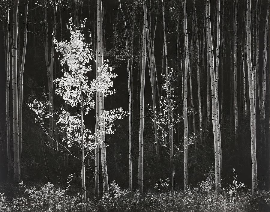 Aspens Northern New Mexico Photograph