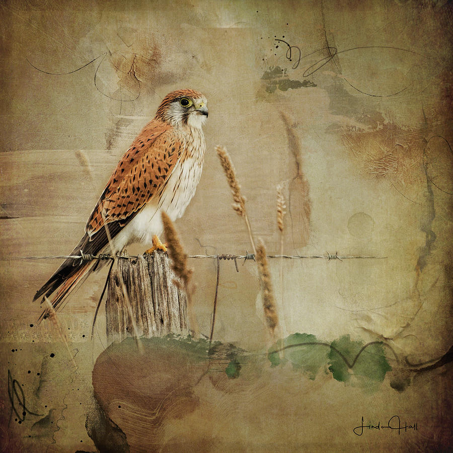 Nature Digital Art - Australian Kestrel by Linda Lee Hall