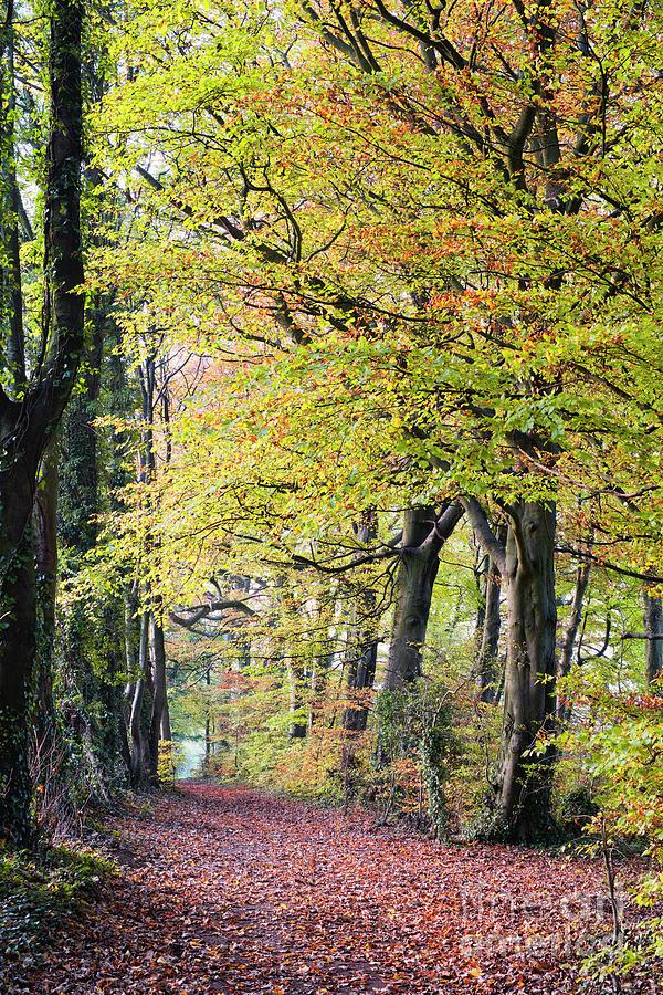 Autumn Beech Walk by Tim Gainey