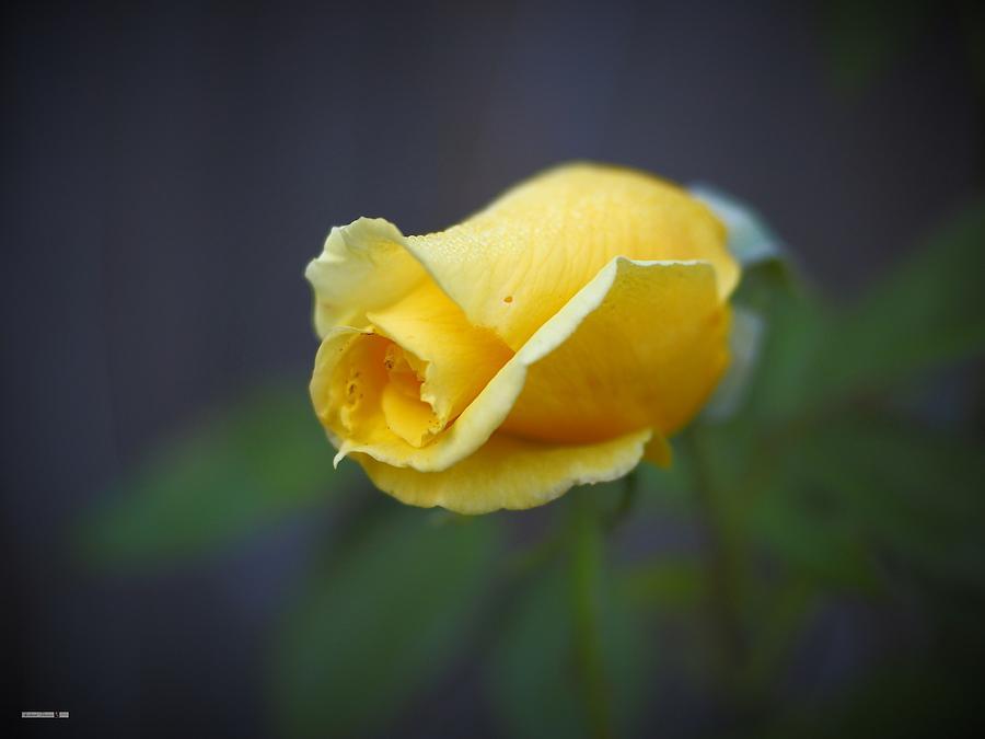 Autumn Rose by Richard Thomas