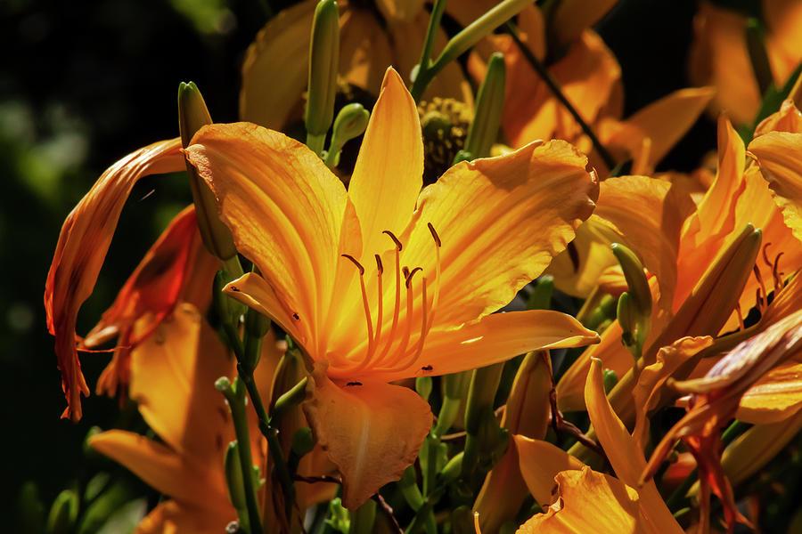 Back Lit Lilies Photograph