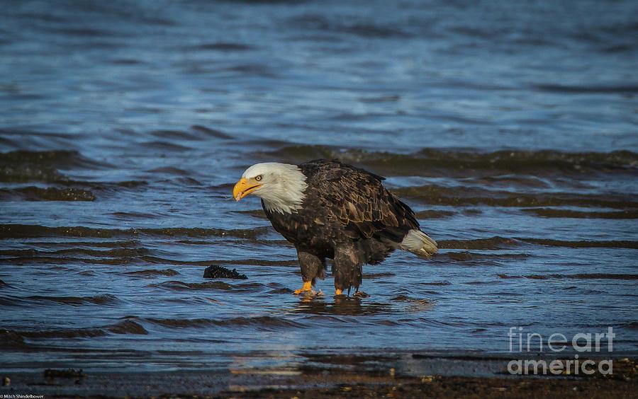 Bald Eagle 23 Photograph