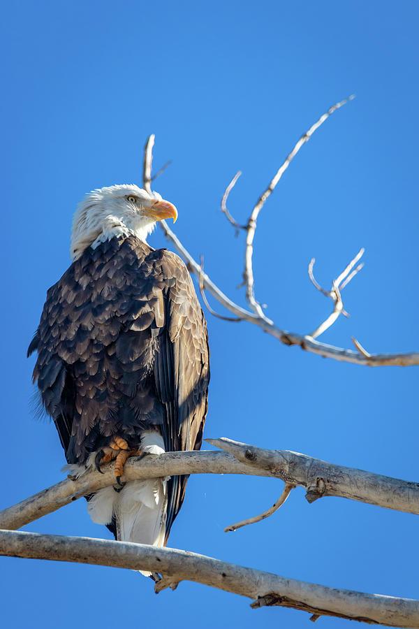 Bald Eagle 5 by Michael Chatt