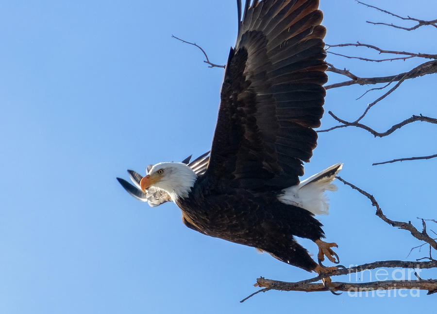 Bald Eagles Taking Flight Photograph