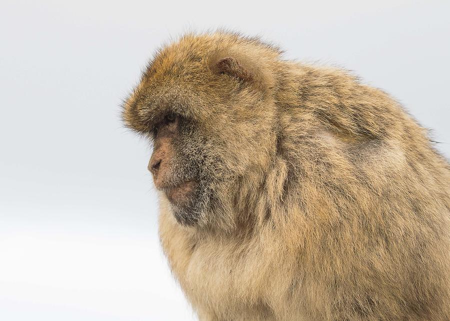 Barbary Macaque Photograph by Elizabeth W. Kearley