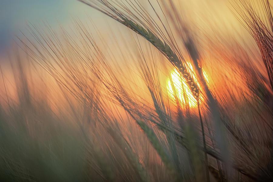 Barley Sunset Photograph