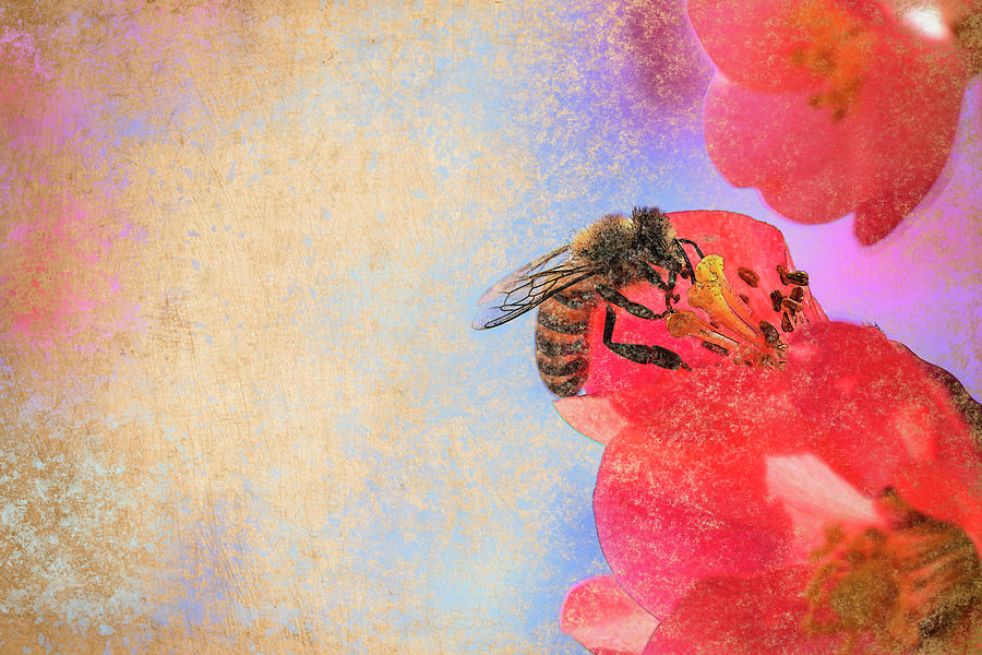 Bee Feeding On Flowering Quince Flower Photograph