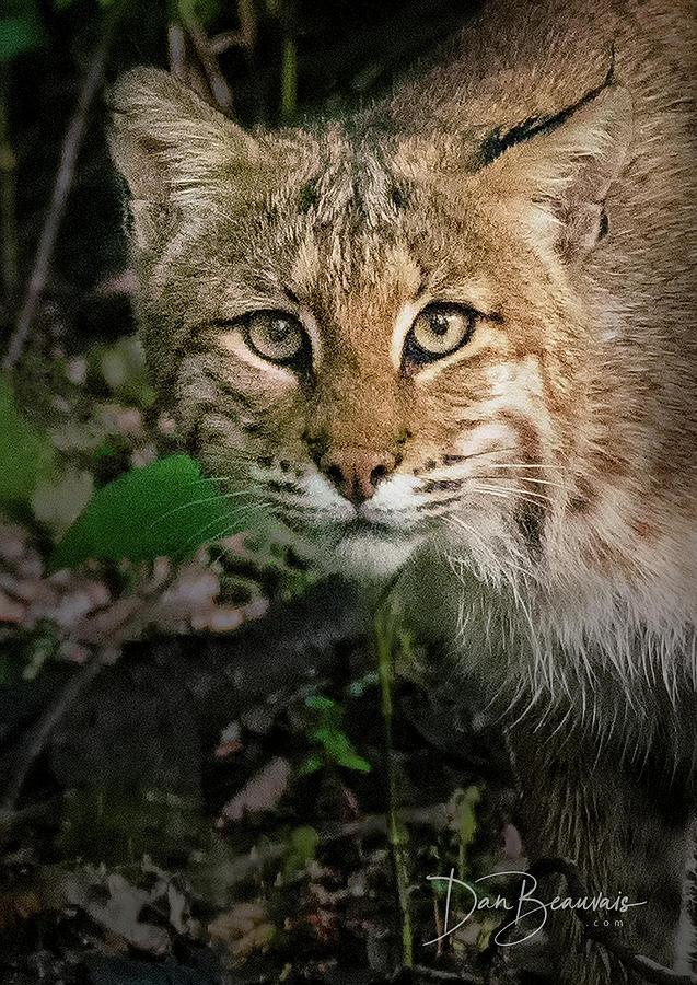 Bobcat 8639 Photograph