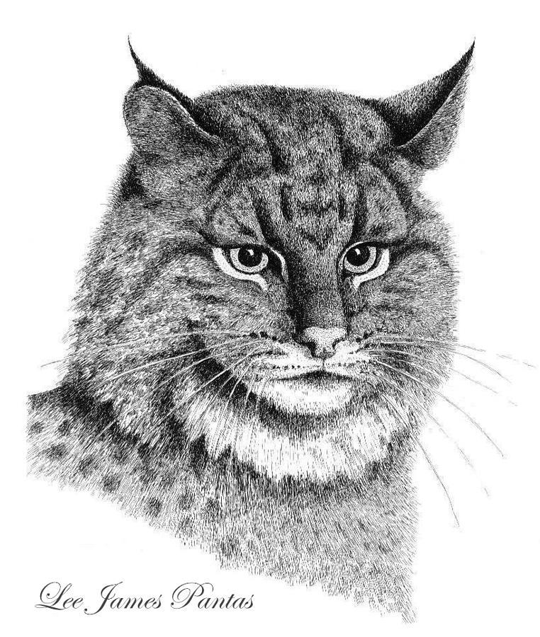 Bobcat Drawing - Bobcat by Lee Pantas