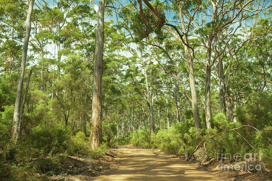 Boranup Forest, Nr. Margaret River, Western Australia by Elaine Teague