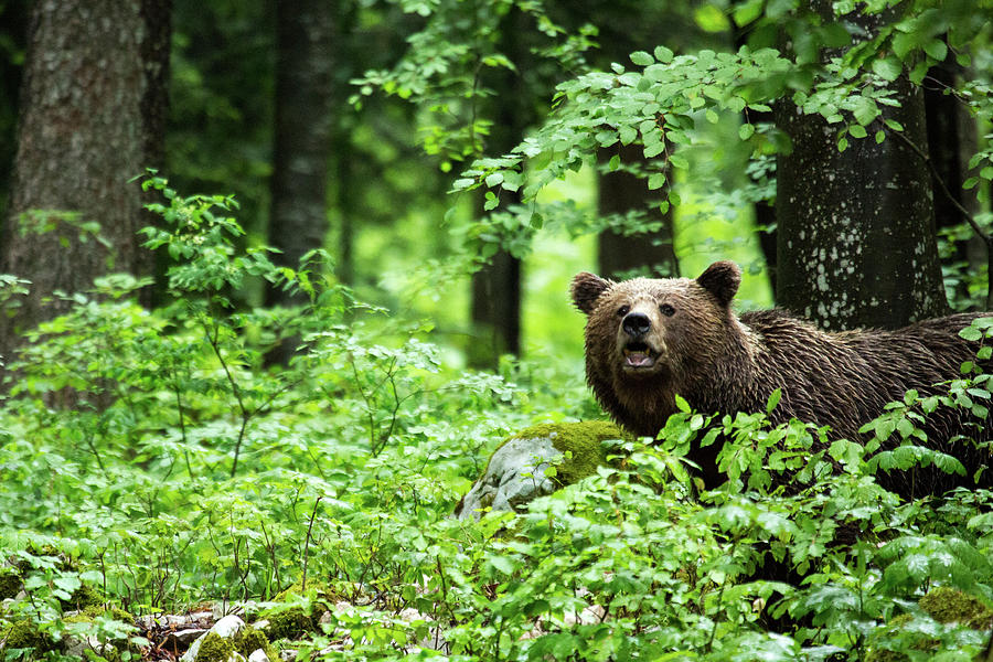 Brown Bear in Slovenia by Ian Middleton
