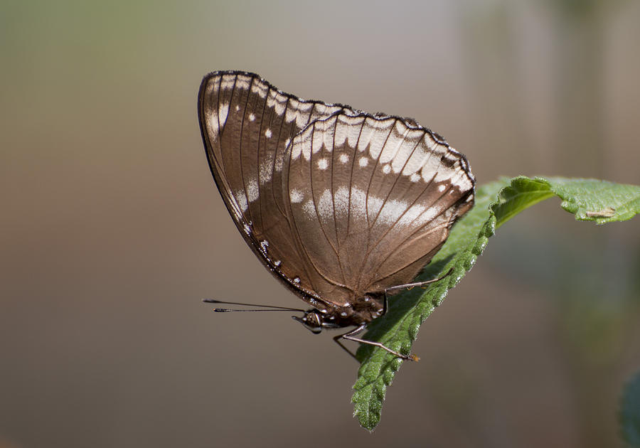 Butterfly macro by Pietro Ebner