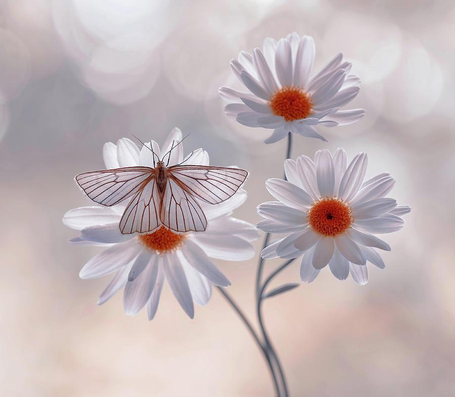 Butterfly Siona Lineata On A Daisy Photograph