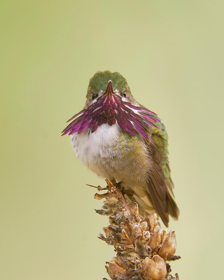 Calliope Hummingbird Photograph - Calliope Hummingbird, El Dorado County California by Doug Herr